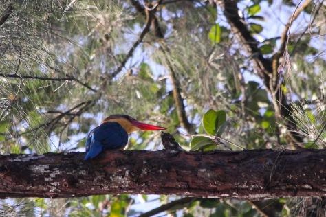 SubrajandTony-8521_Stork_Billed_Kingfishers